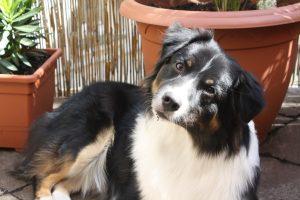 Aussie Hund Rüde